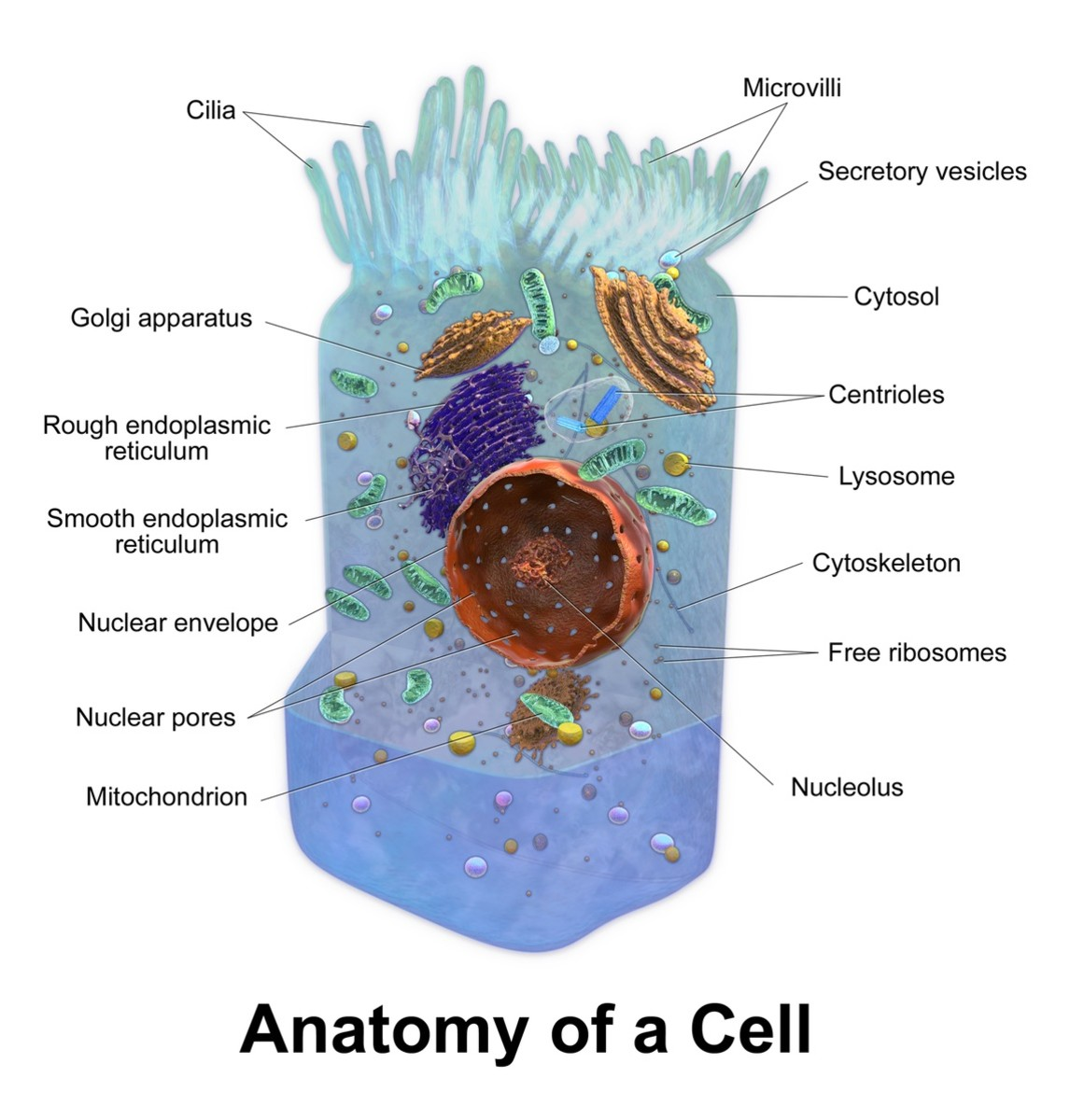 Structure of a cell; not all human cells have cilia or microvilli