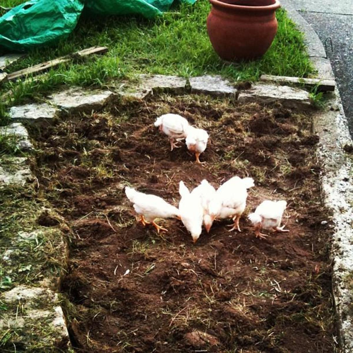 Four week old Cornish Cross chicks scratching in the freshly turned dirt of the herb garden.