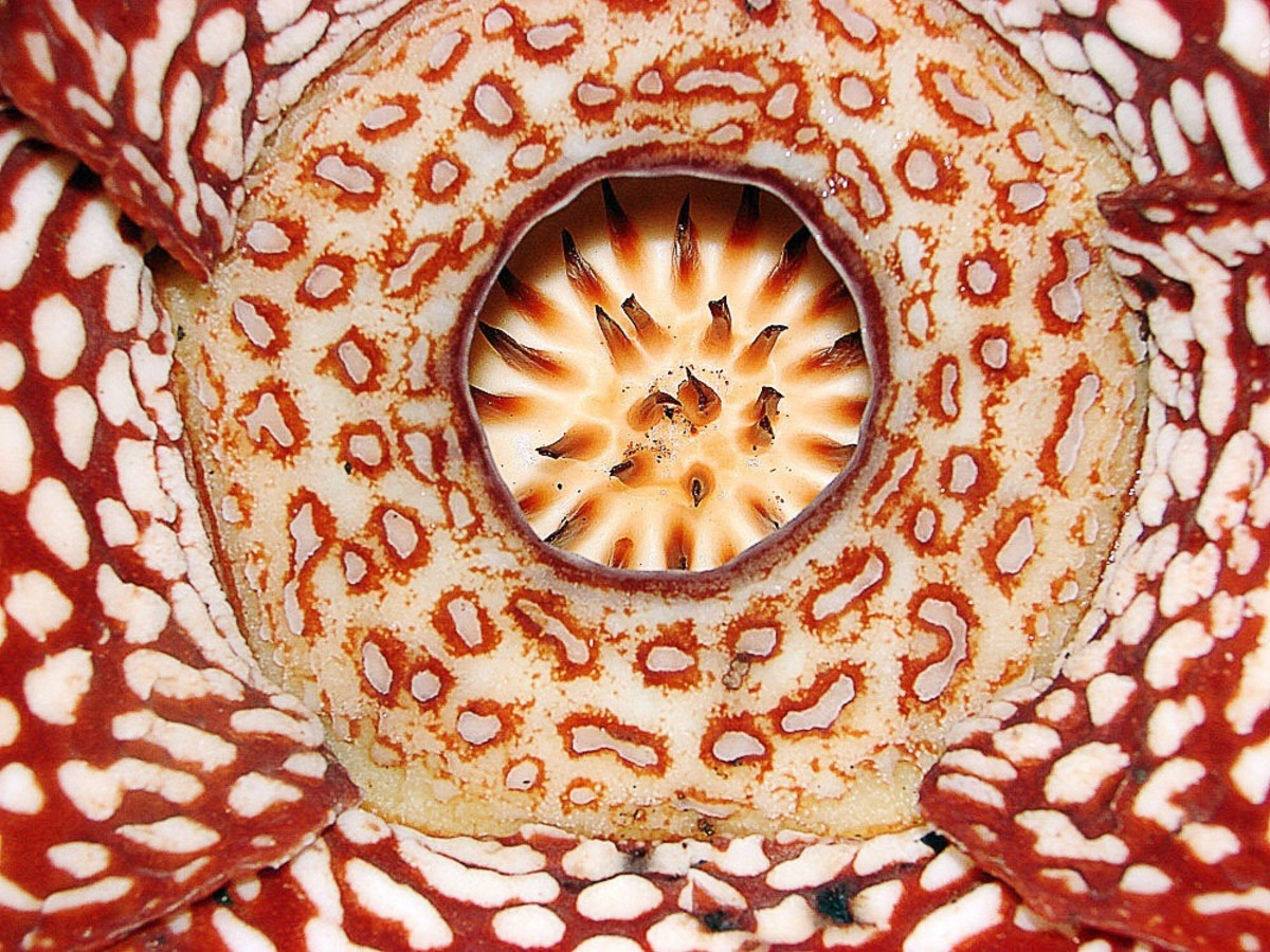 The central part of a Rafflesia pricei flower
