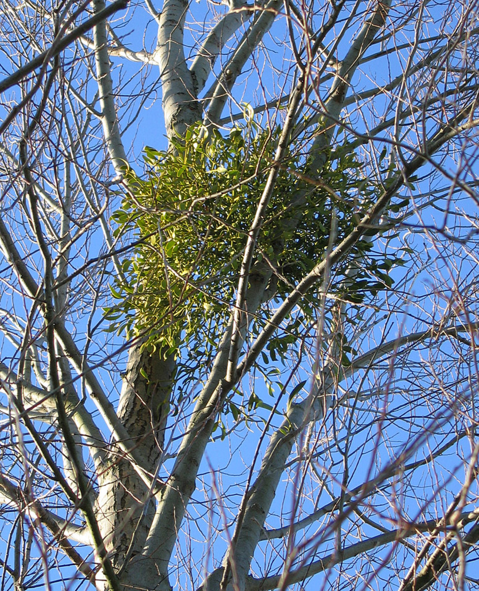 This European mistletoe attached to a silver birch tree has formed a witch's broom.