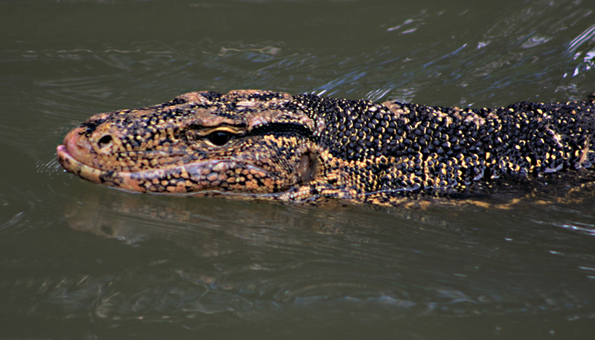 The water monitor, as its name might suggest, is a powerful swimmer