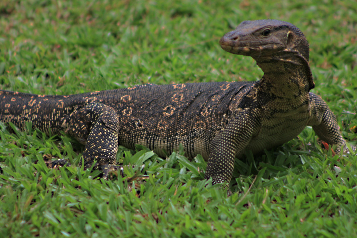 The water monitor - one of the features of Lumpini Park, Bangkok