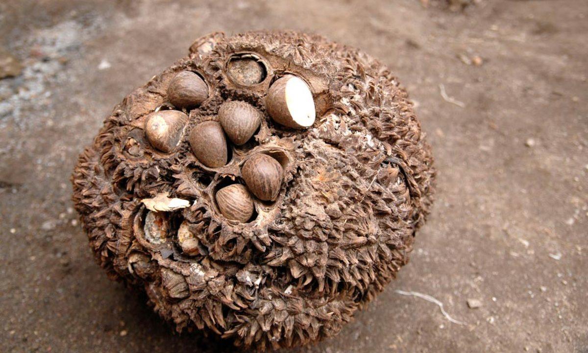 tagua fruit cluster