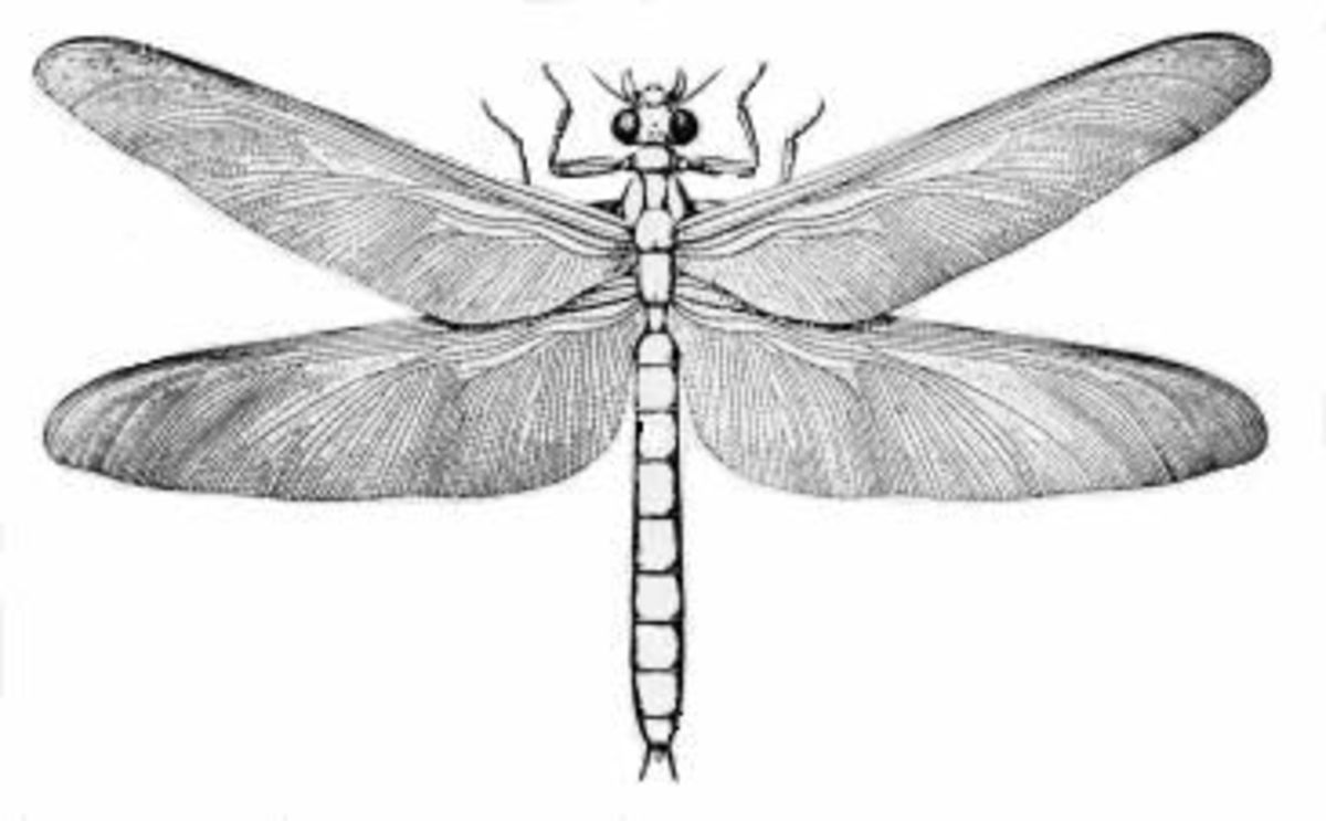 The Carboniferous was the age of giant insects, and this dragonfly, Meganeura grew to the size of modern eagles.