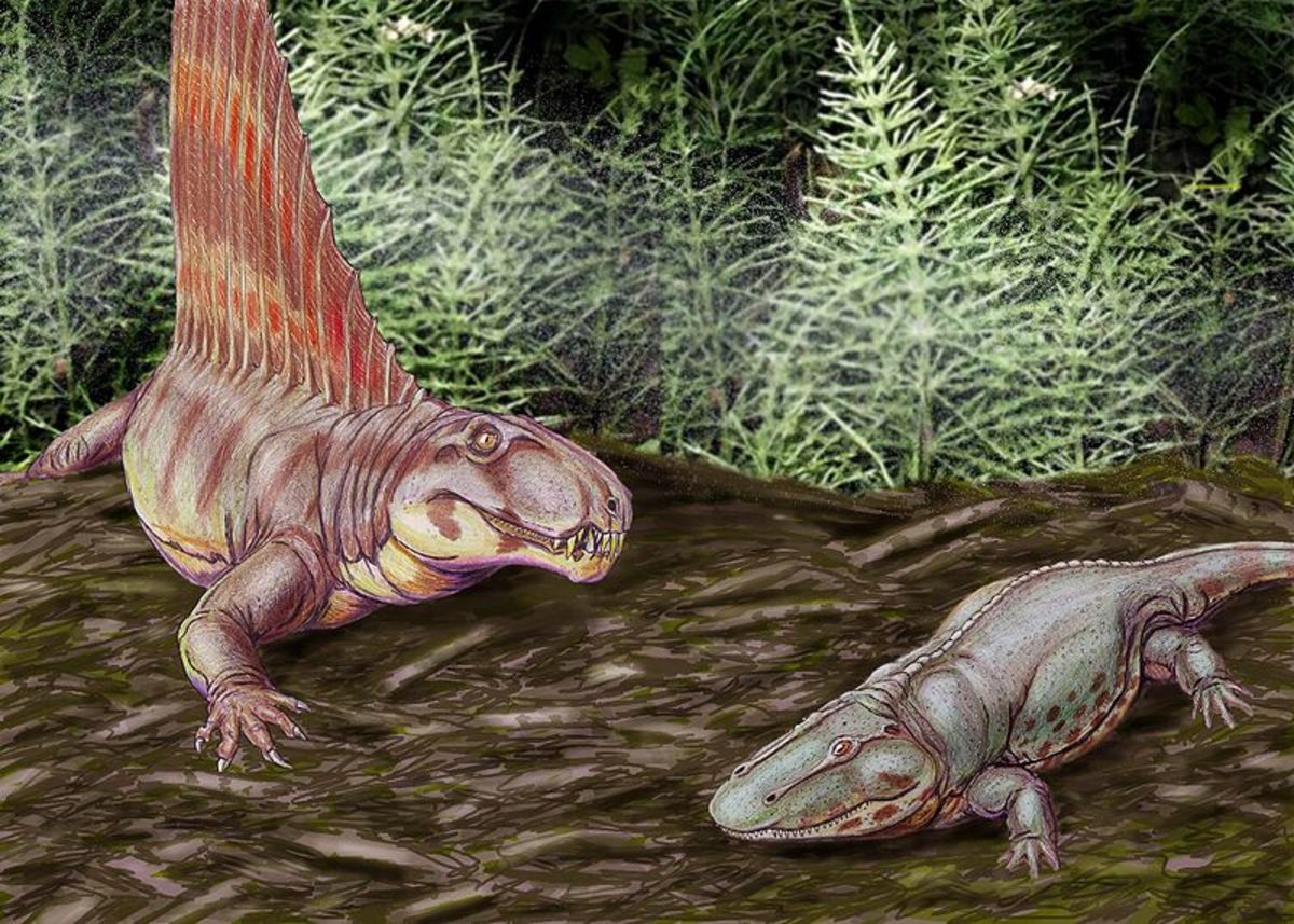 The famous sail back Dimetrodon was a reptile, but was in fact more closely related to mammals than to dinosaurs, birds and other reptiles.