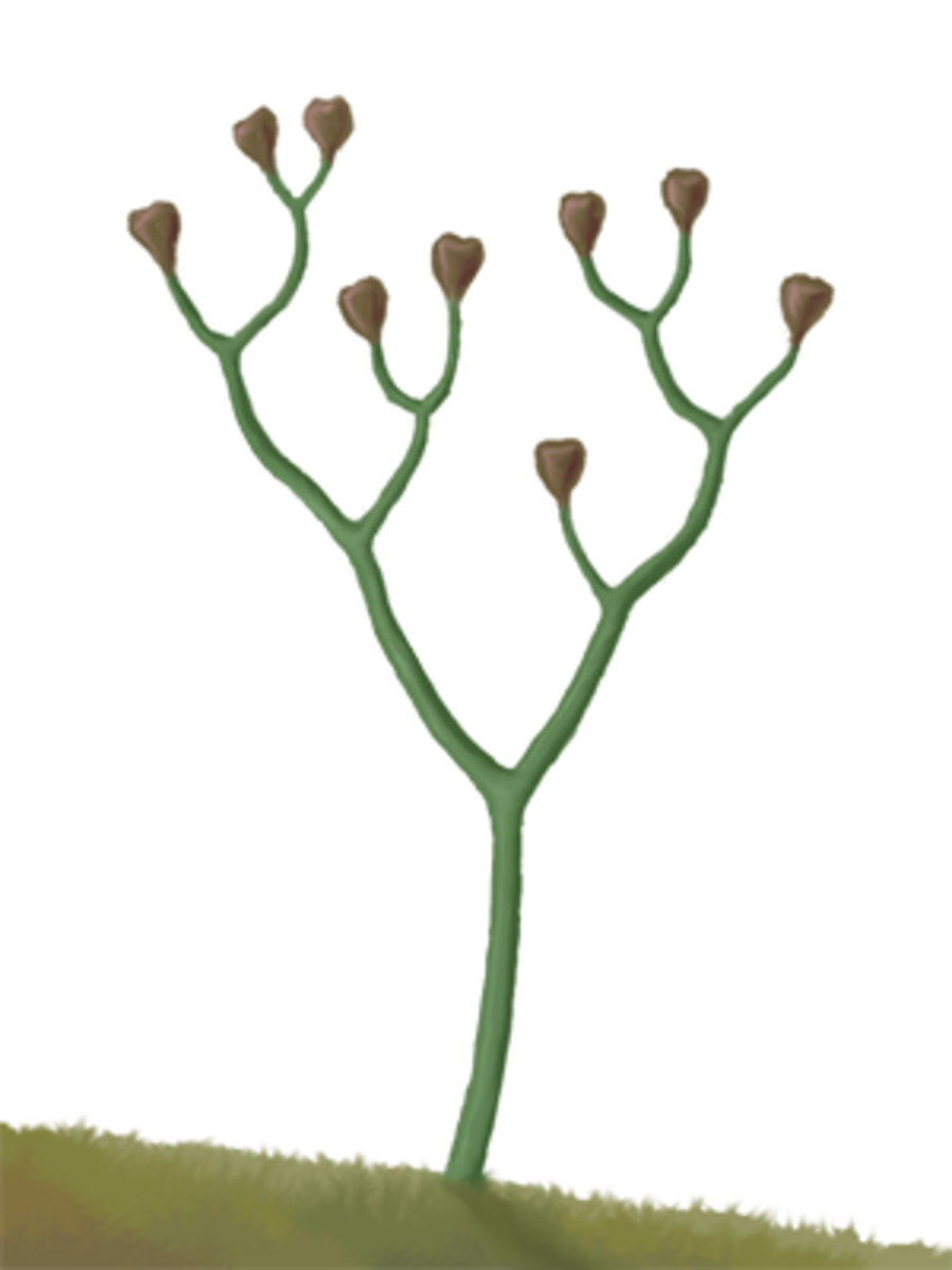 Cooksonia was among the vascular plants to ever evolve. In other words it was the first plant to send shoots upwards, making it a forerunner of most modern plants including trees.