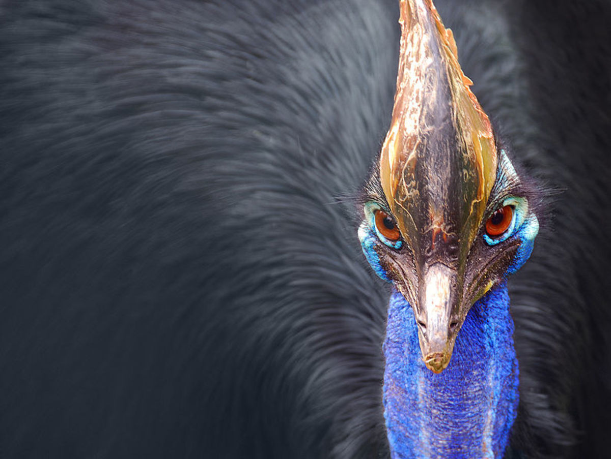 Cassowaries are one of just two species of bird that have actually killed humans through physical violence. They are highly territorial and will attack anything that comes too close.