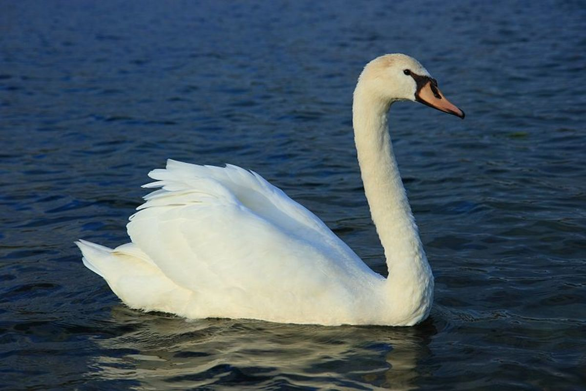 Mute swans will attack anything that enters their territory including dogs and humans. Before they attack, they will hiss at the intruder, which has an eerie dinosaur like sound.