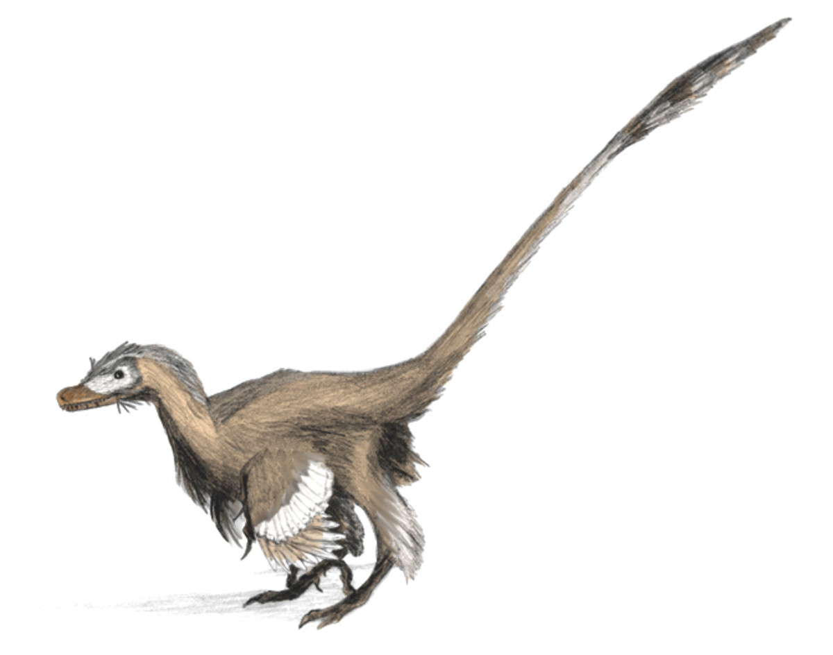 A reconstruction of a Velociraptor with a full covering of feathers. Far from being sluggish reptiles, dinosaurs were warm blooded, fast moving, fast growing, intelligent and very adaptable.
