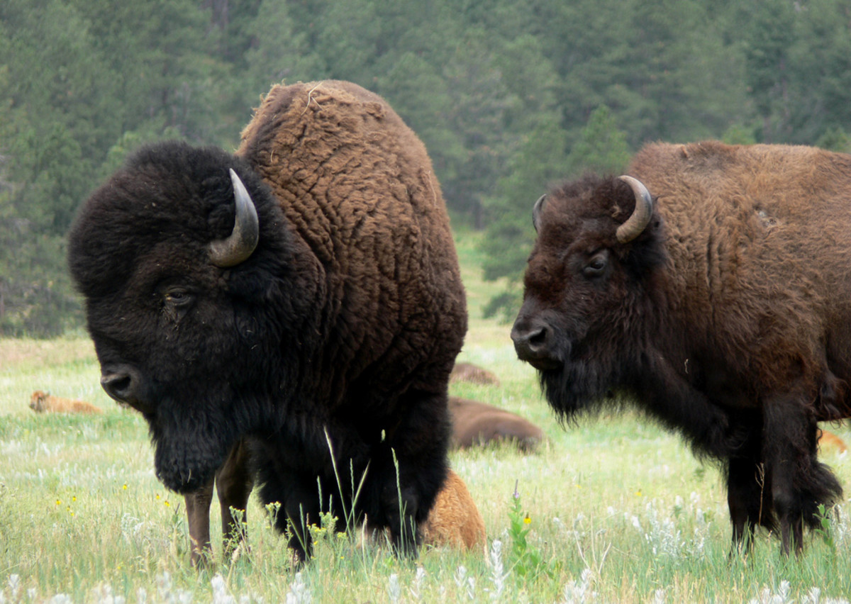 Bison roaming through Custer National Park in South Dakota