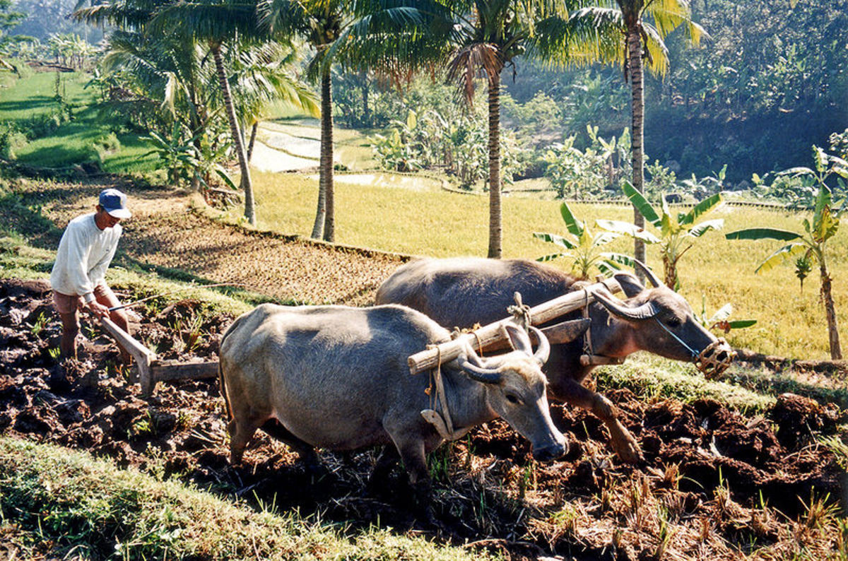 Plowing rice fields with water buffalo in Indonesia