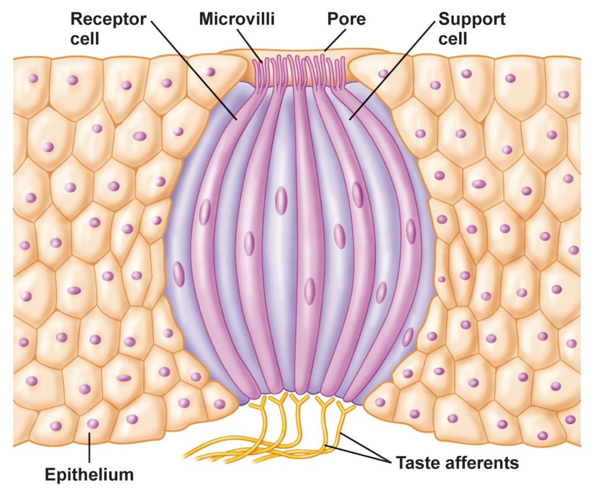 Onion-shaped tastebud.