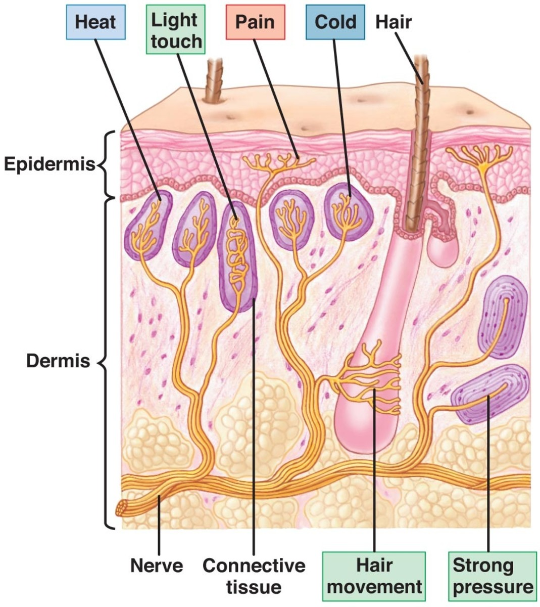 Pain receptors (Nociceptors) are free nerve endings!