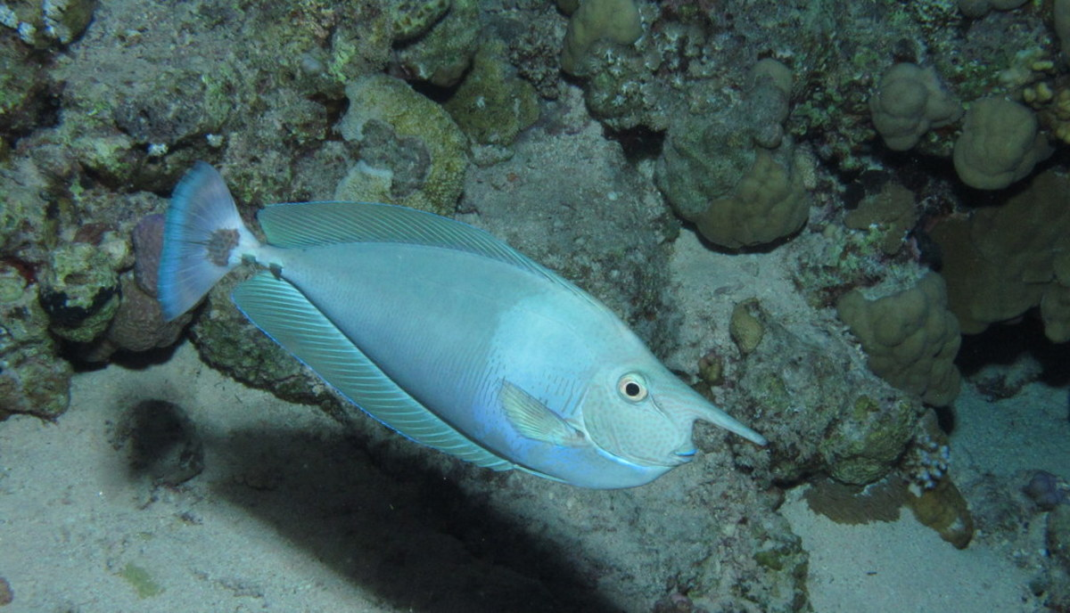 Spotted unicornfish, Red Sea