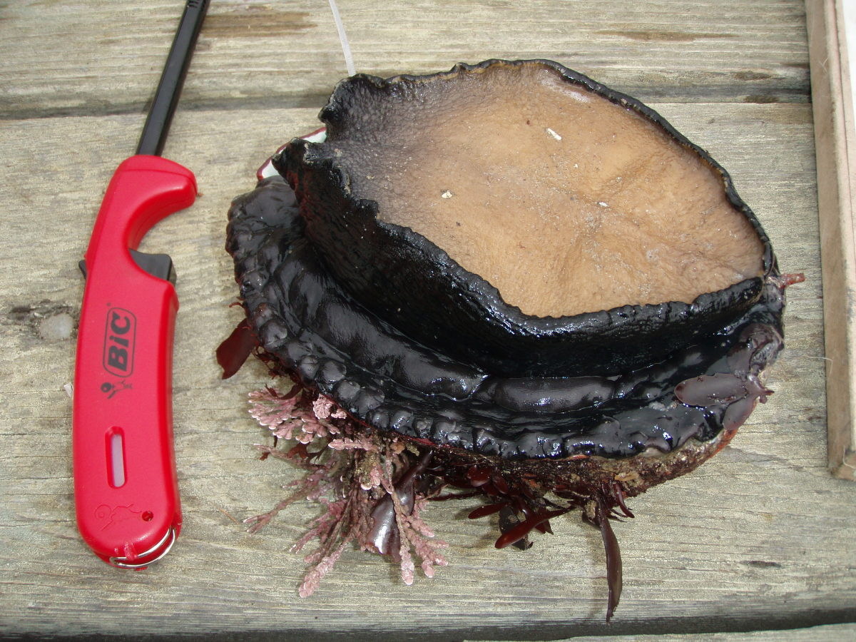 An abalone pried from the rocks