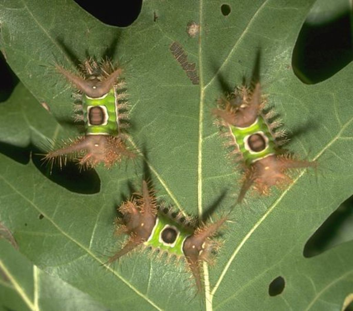 Immature saddleback caterpillars tend to feed in groups, while older caterpillars feed singly.