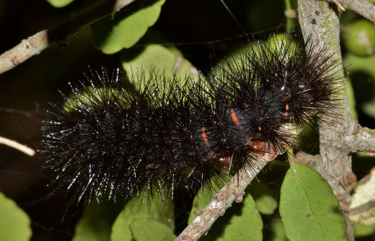While not toxic, this caterpillar has extremely sharp and stiff spines.