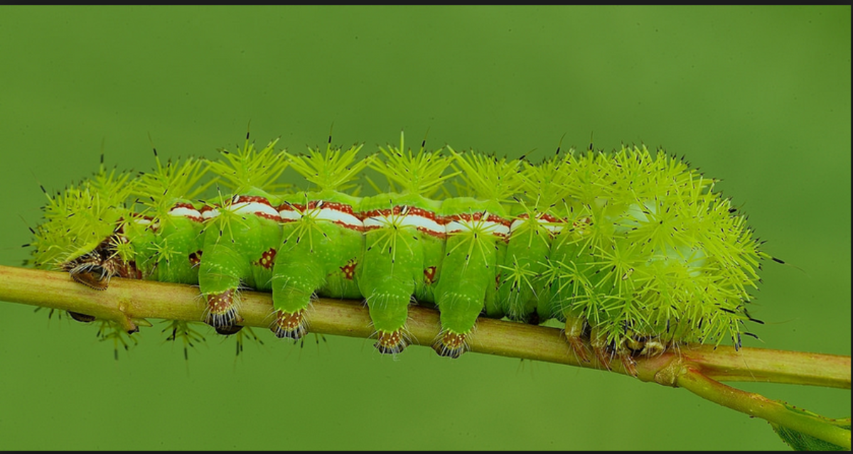 The io moth caterpillar is large and capable of giving you a very sharp sting.