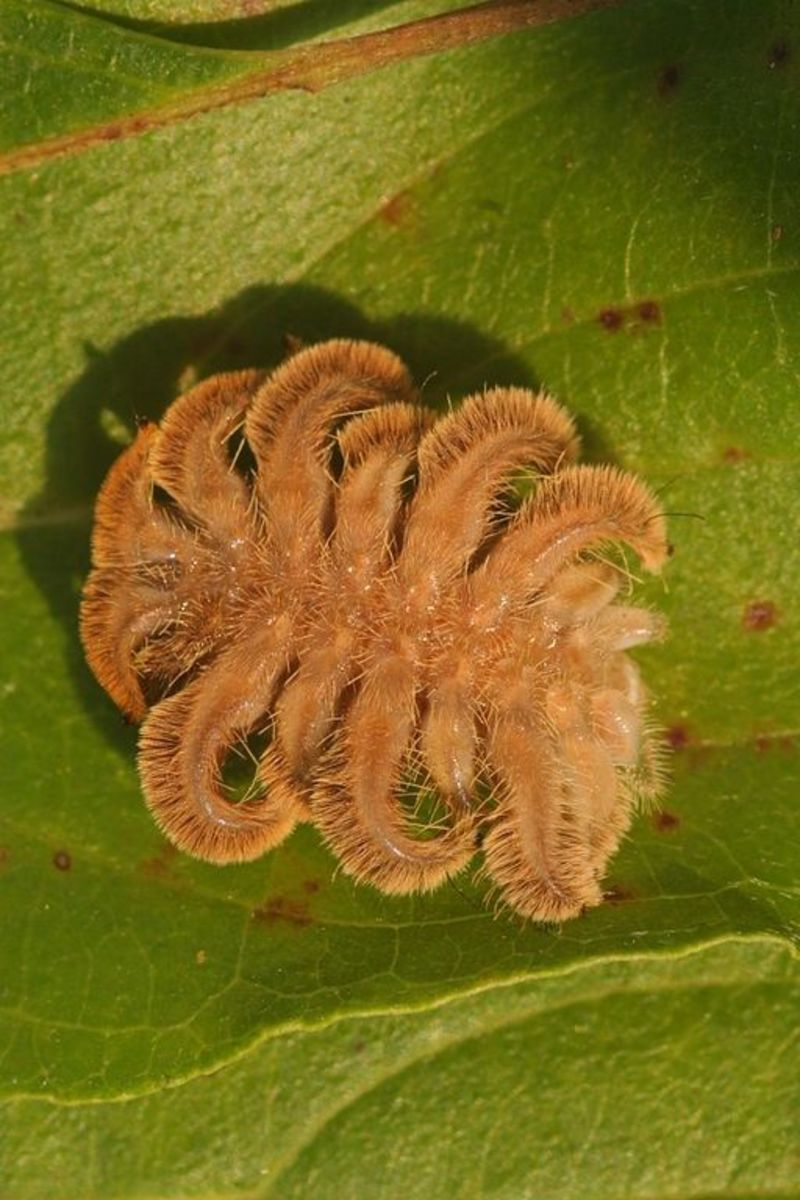 This odd caterpillar hides stinging spines on fleshy appendages.