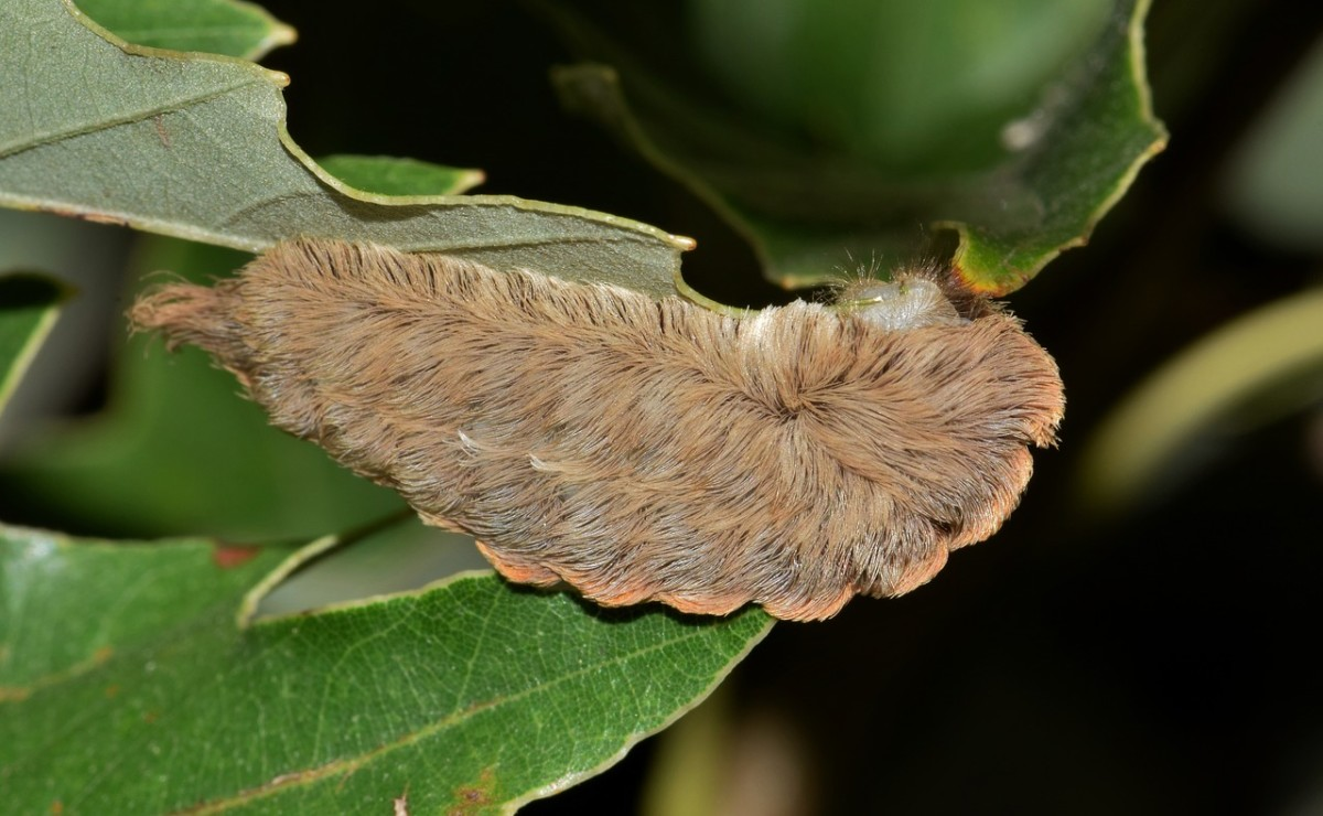 "The caterpillar known as ""the asp"" hides a powerful sting under fluffy-looking fur."