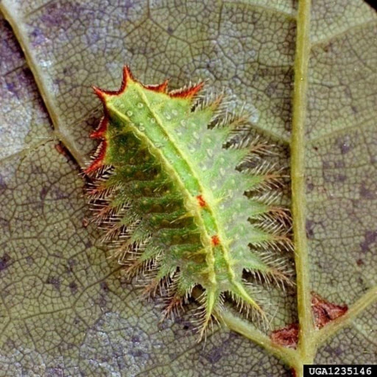 stinging-caterpillars