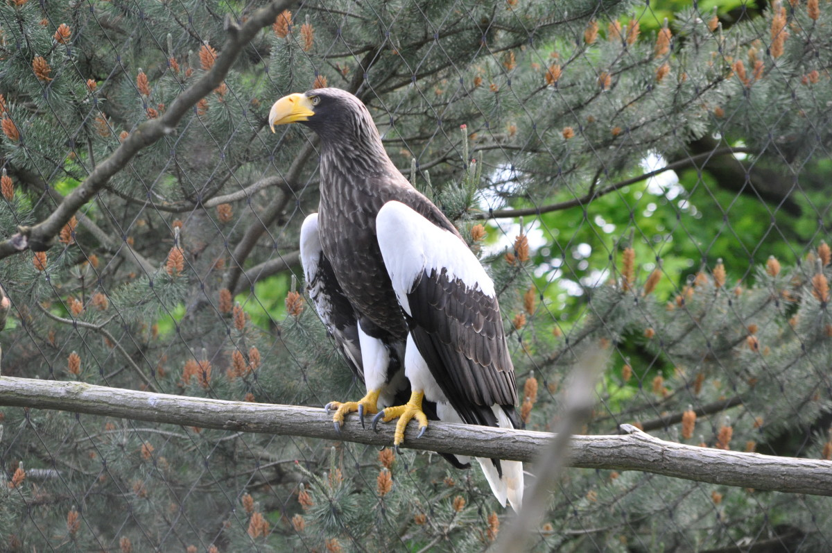 birds-of-prey-stellers-sea-eagle