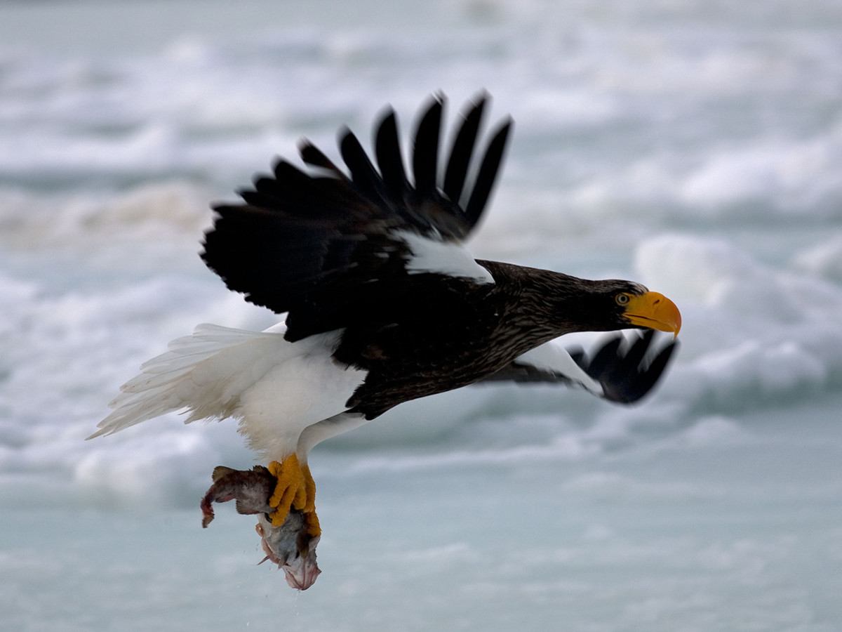 The Steller's Sea Eagle
