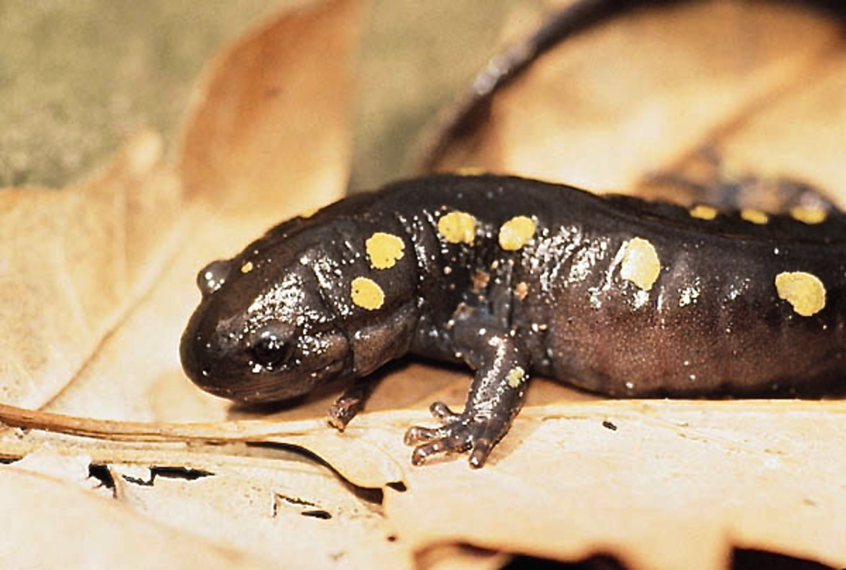 The embryos of the spotted salamander contain chloroplasts inside symbiotic algae.