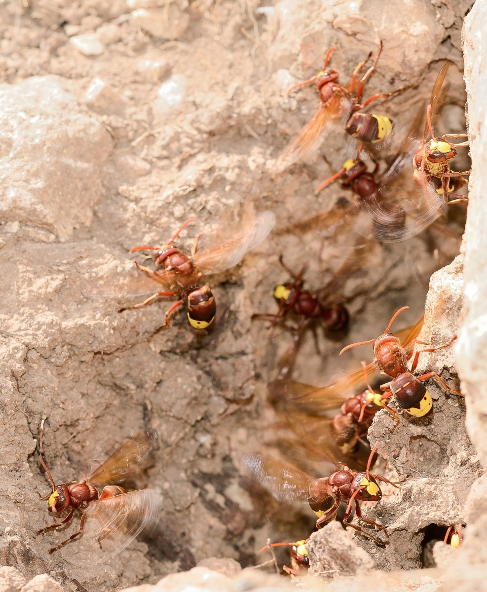 Oriental hornet workers fanning their wings to keep their nest cool on a hot day