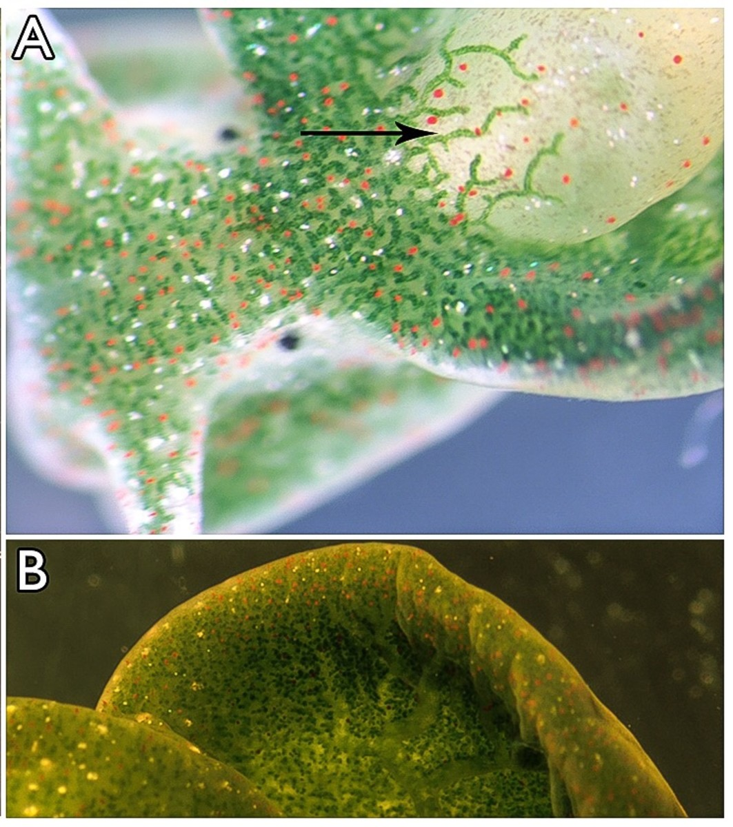 These photos show a magnified view of the eastern emerald elysia. The arrow is pointing to one of the chloroplast-filled branches of the digestive tract in the parapodia.