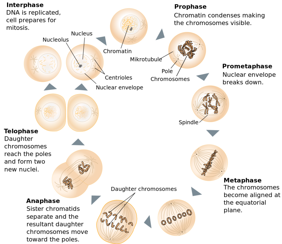 cell division mitosis and meiosis owlcation diagram of mitosis phases diagram of mitosis #14