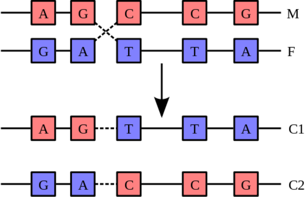 During Crossing over, analogous sections of DNA from homologous chromosomes are swapped over.