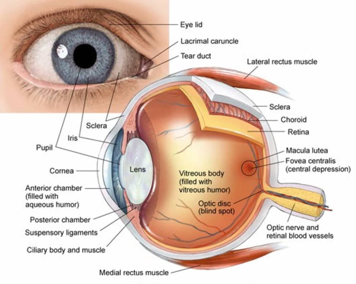 Anatomy of the eye: cross section of the human eyeball viewed from above