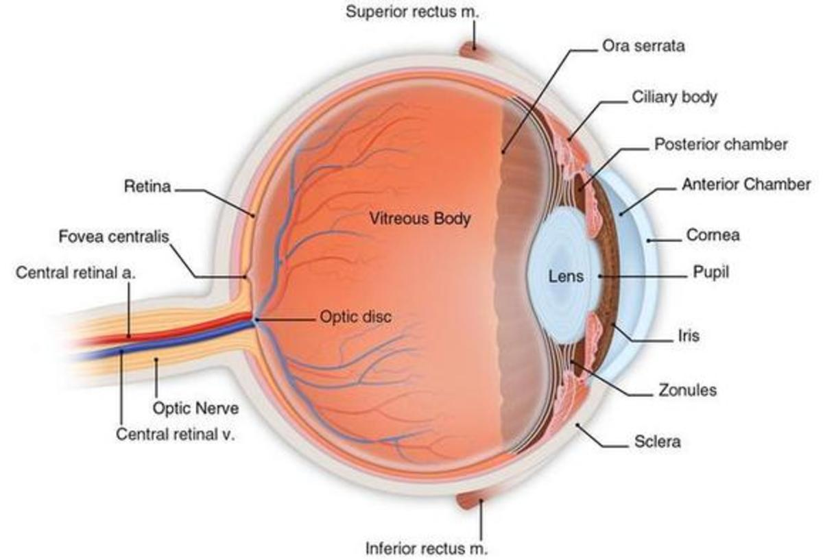 Human Eye Anatomy: cross section of the human eyeball viewed from the side