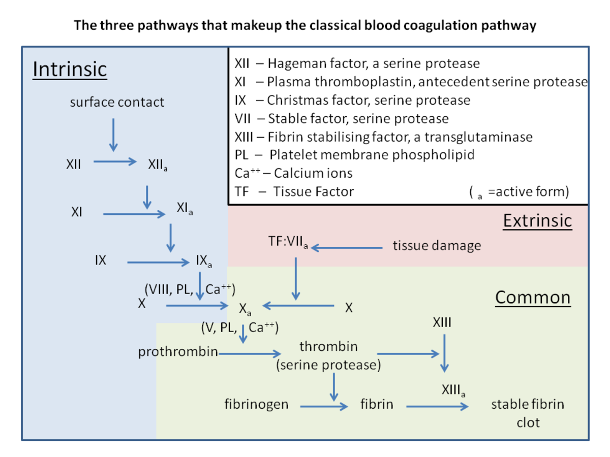 A summary of the intrinsic and extrinsic pathways in the coagulation cascade; recent studies have found that additional reactions and clotting factors are involved in the pathways, but this diagram gives a general idea of the process