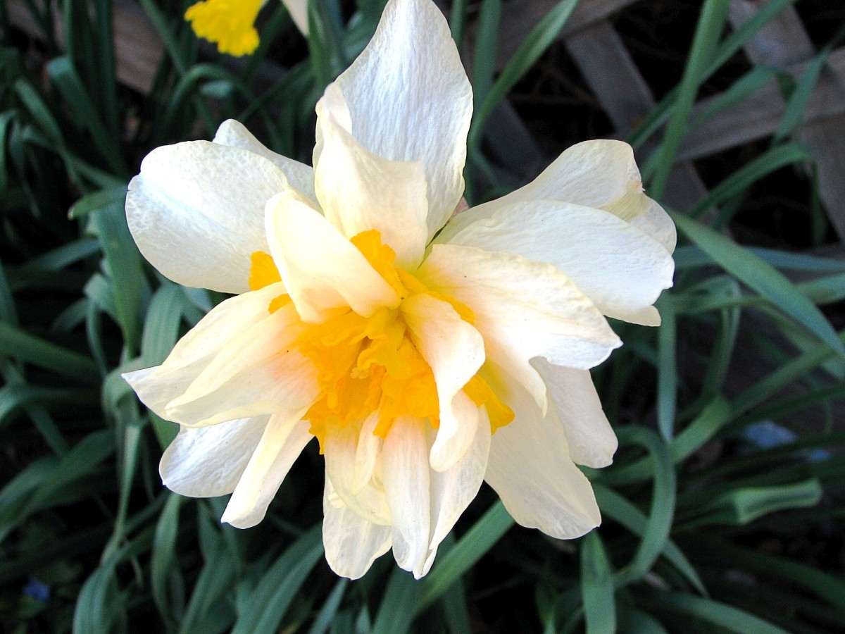 A double daffodil looks very different from the single kind.