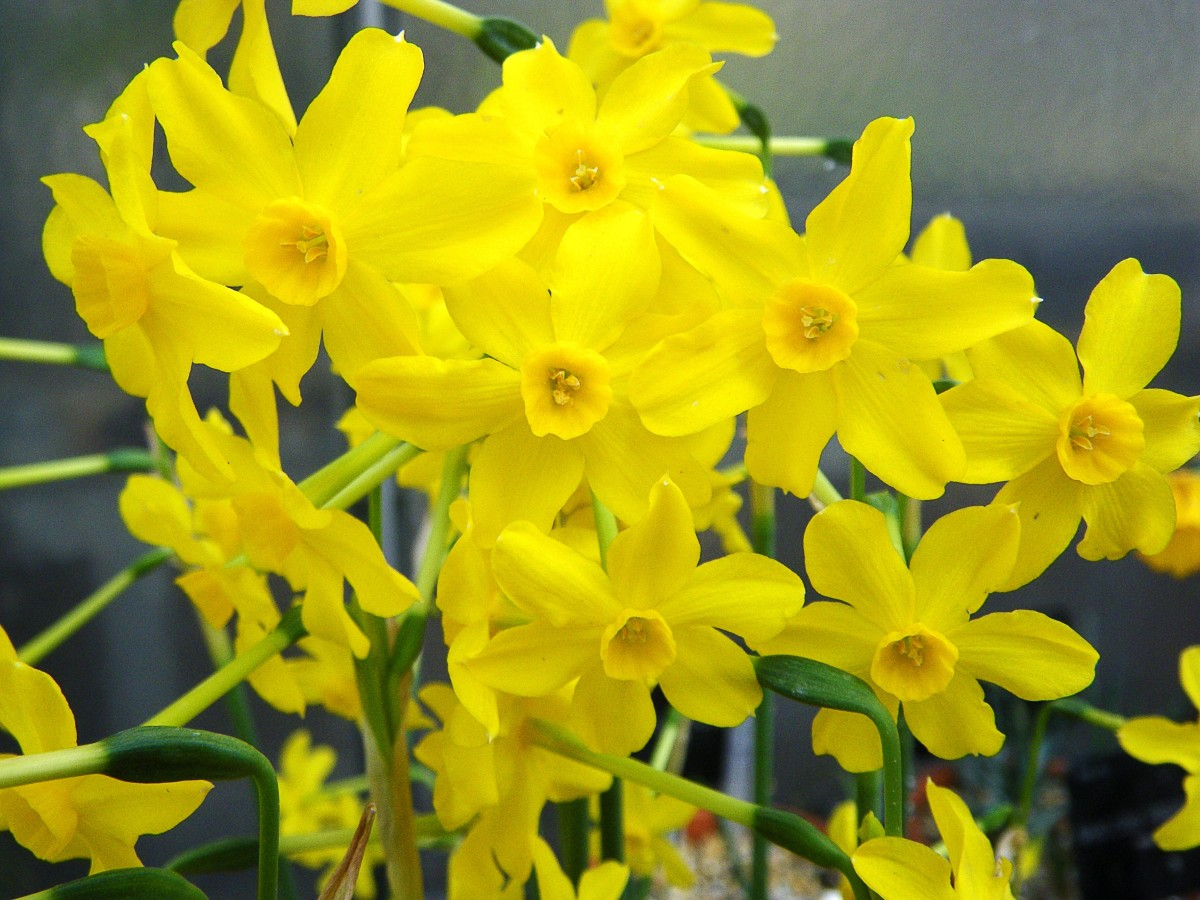 The jonquil has a lovely fragrance.