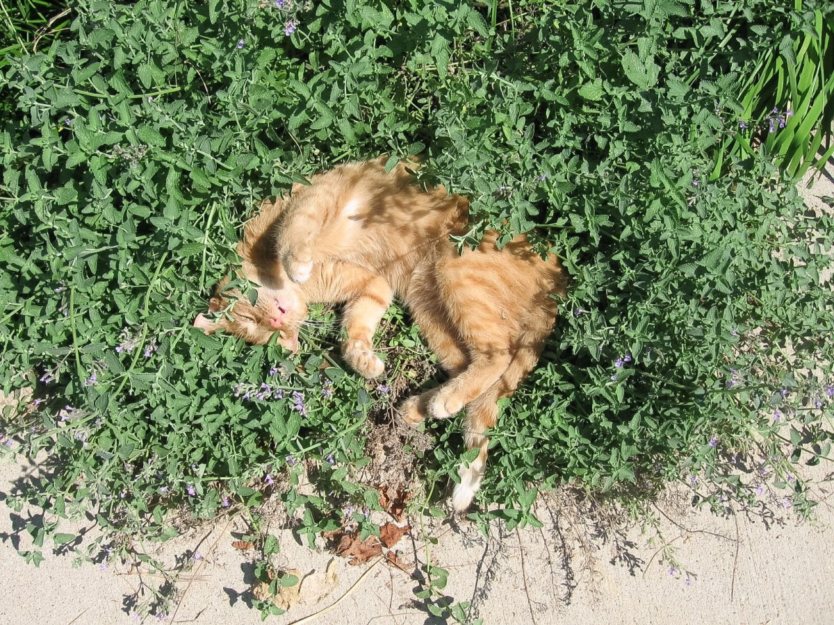 A cat sleeping in a bed of catnip