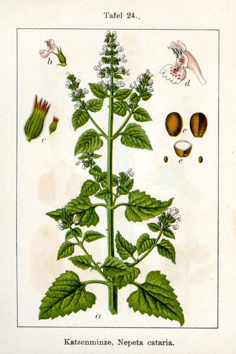 catnip-and-catmint-plants-fascinating-herbs