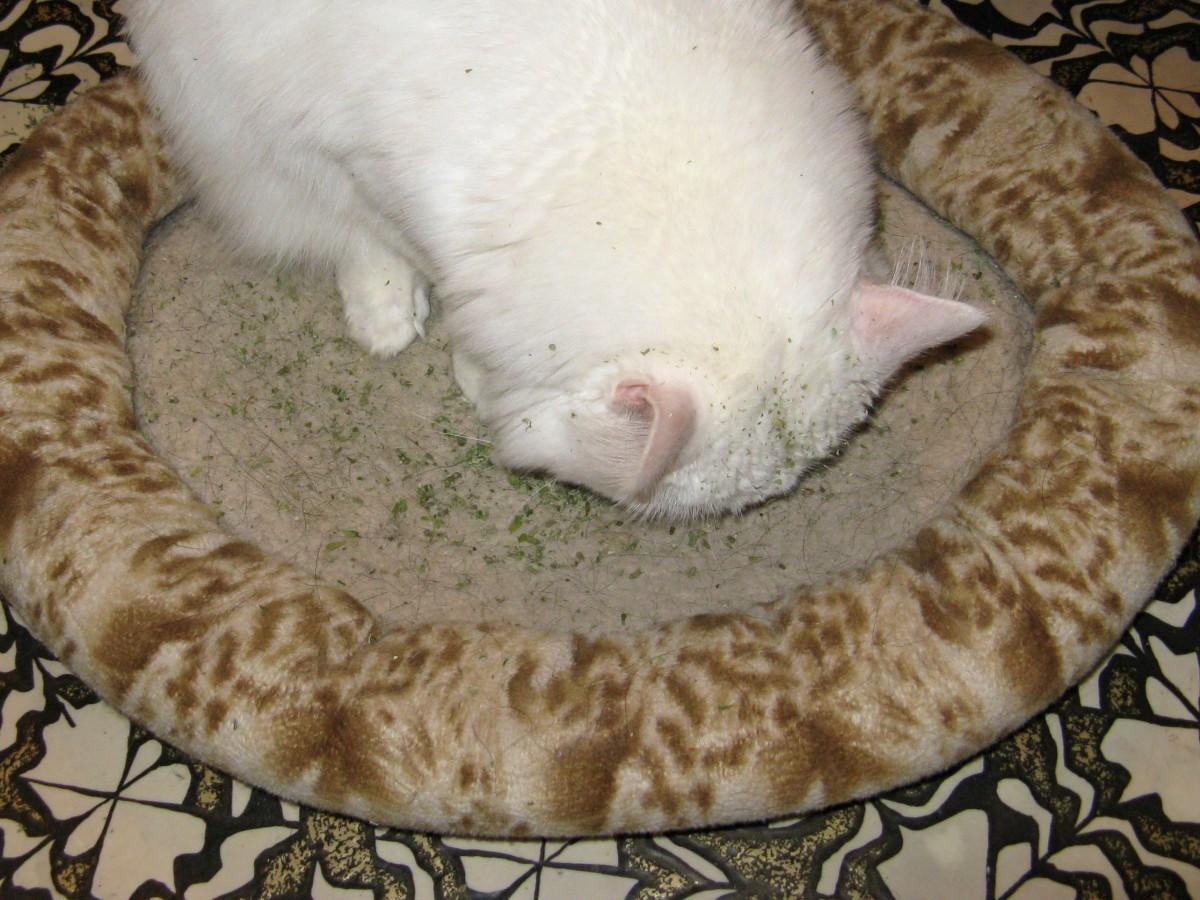 My cat Smudge investigates the catnip