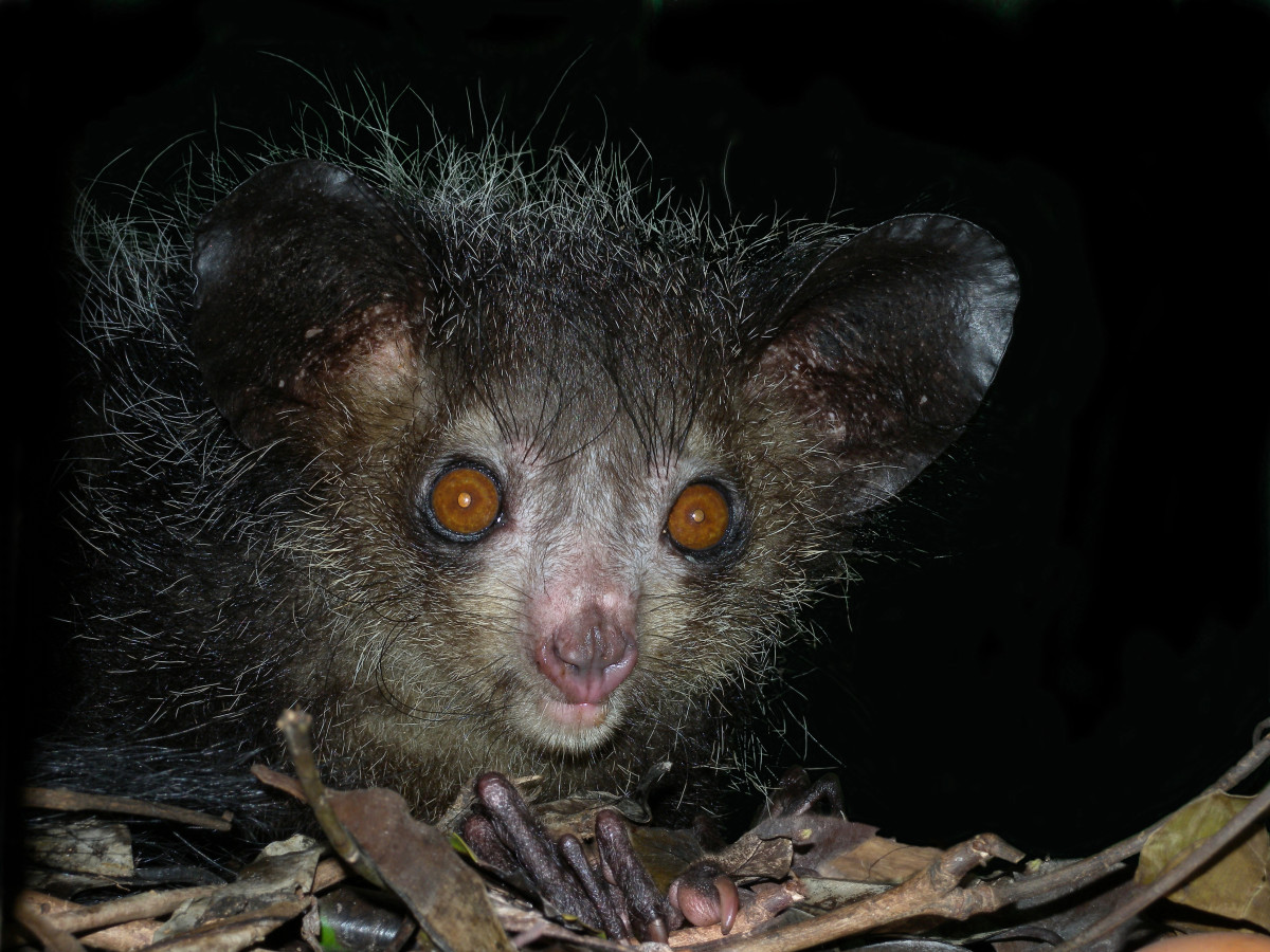 The Malagasy people think the aye aye is an evil demon.  You can see why.