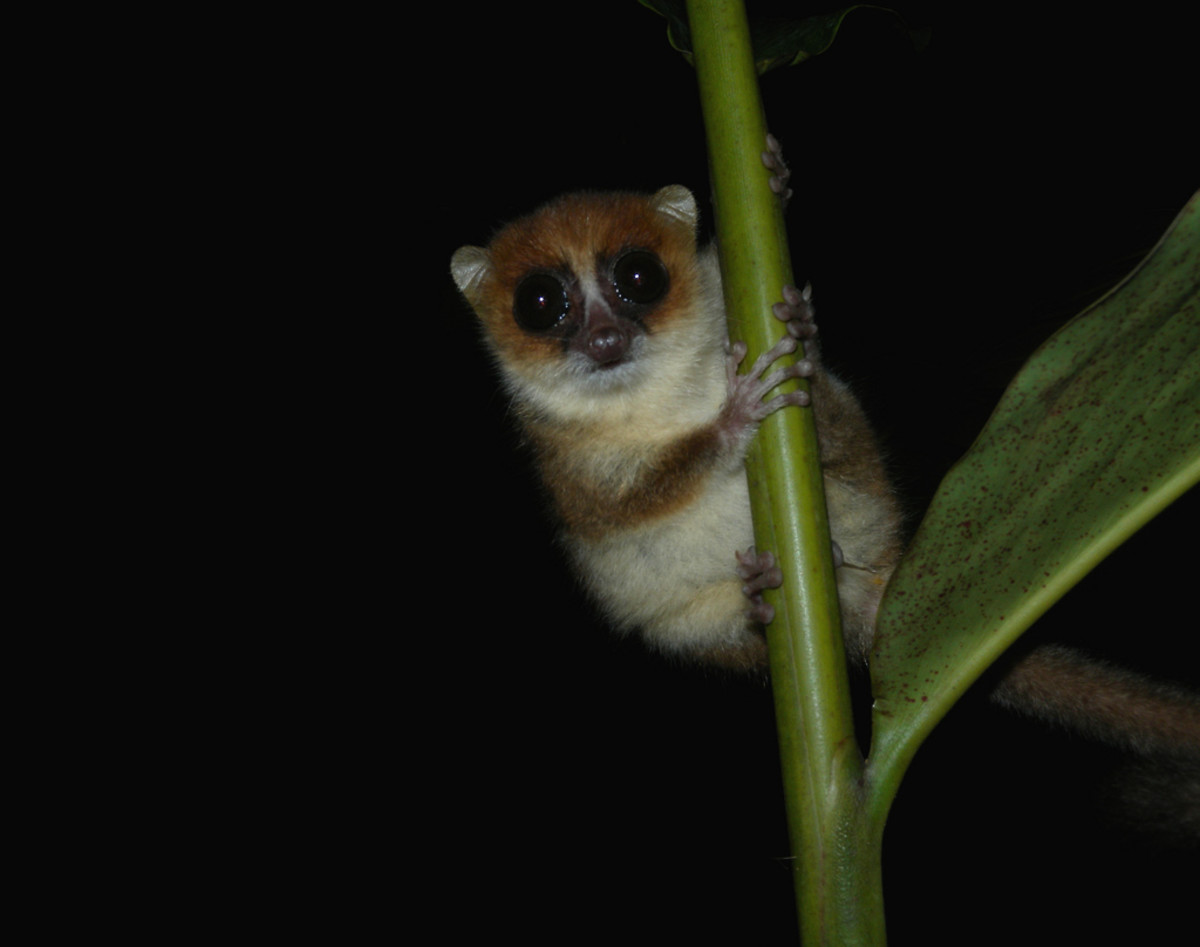 Mouse lemurs are amongst the smallest primates on earth.