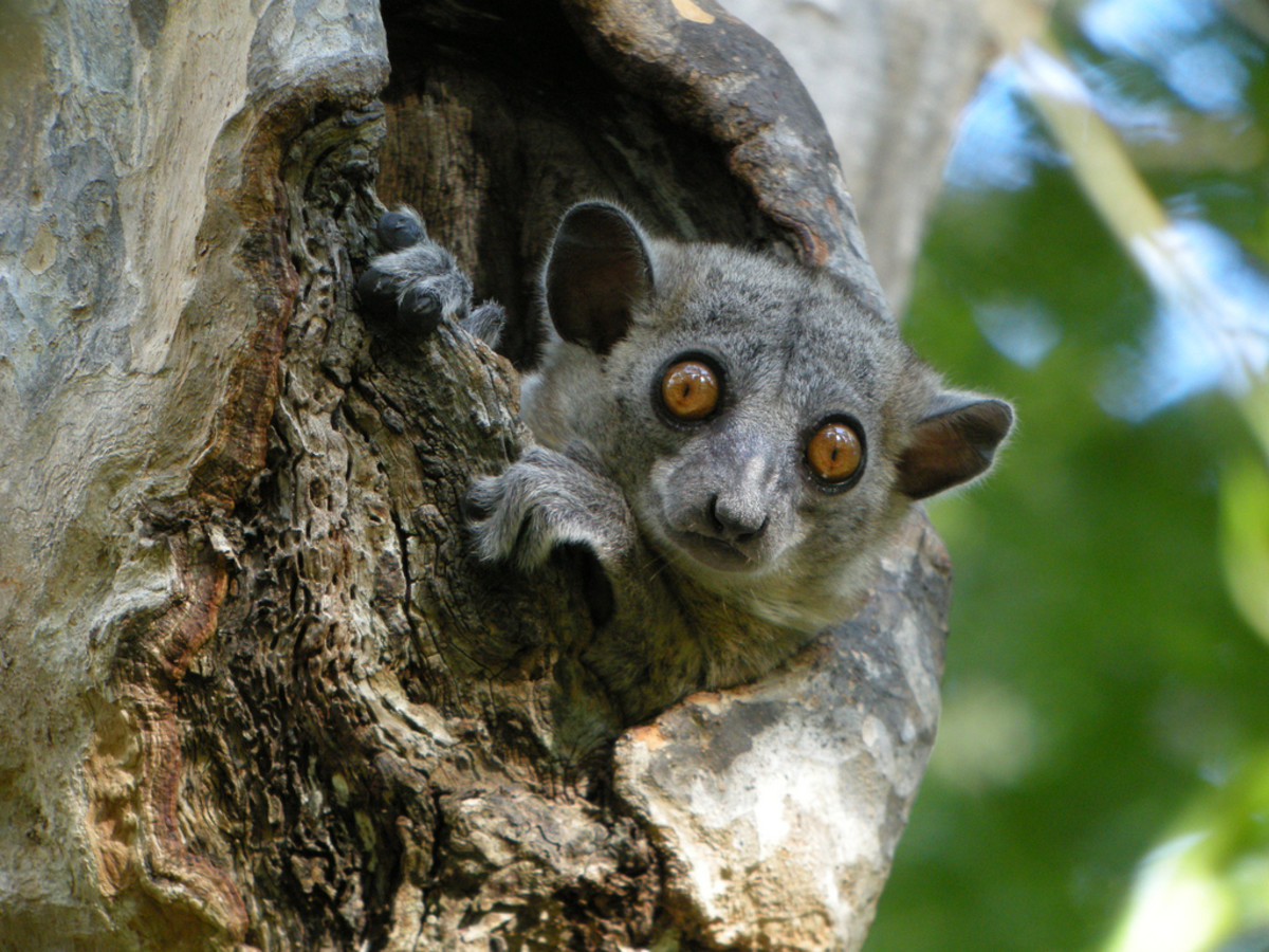 The red-tailed sportive lemur is a nocturnal species found in the Menabe region of Western Madagascar.  It spends the night sleeping in tree holes.