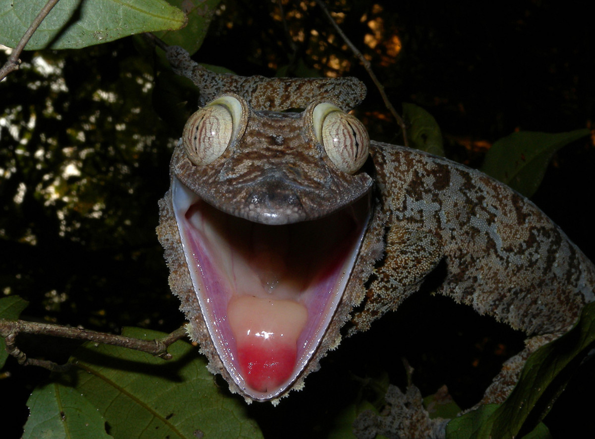 I think this giant leaf gecko is angry.