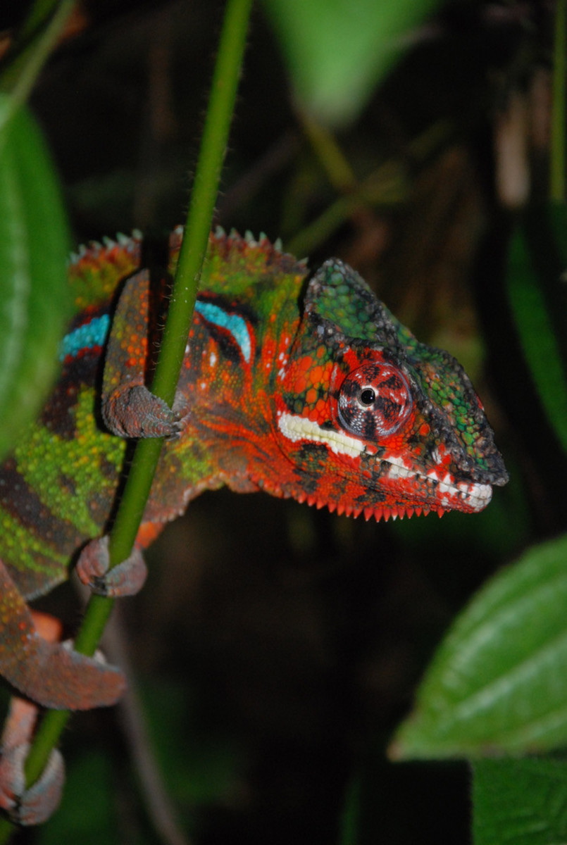 The extremely colorful panther chameleon is only found in Madagascar.  There are different color forms depending on the locality.