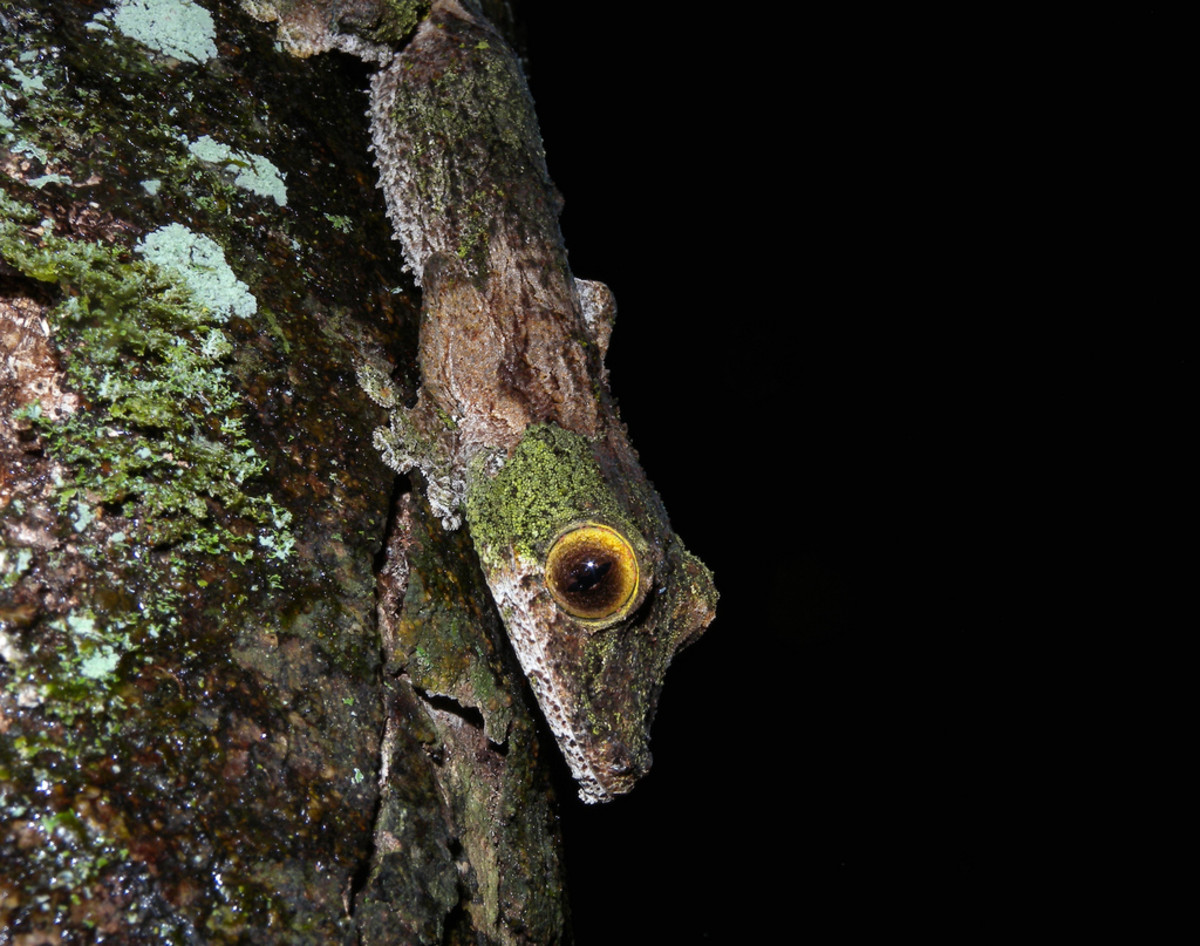 The mossy leaf gecko is perfectly camouflaged when it closes its eyes.