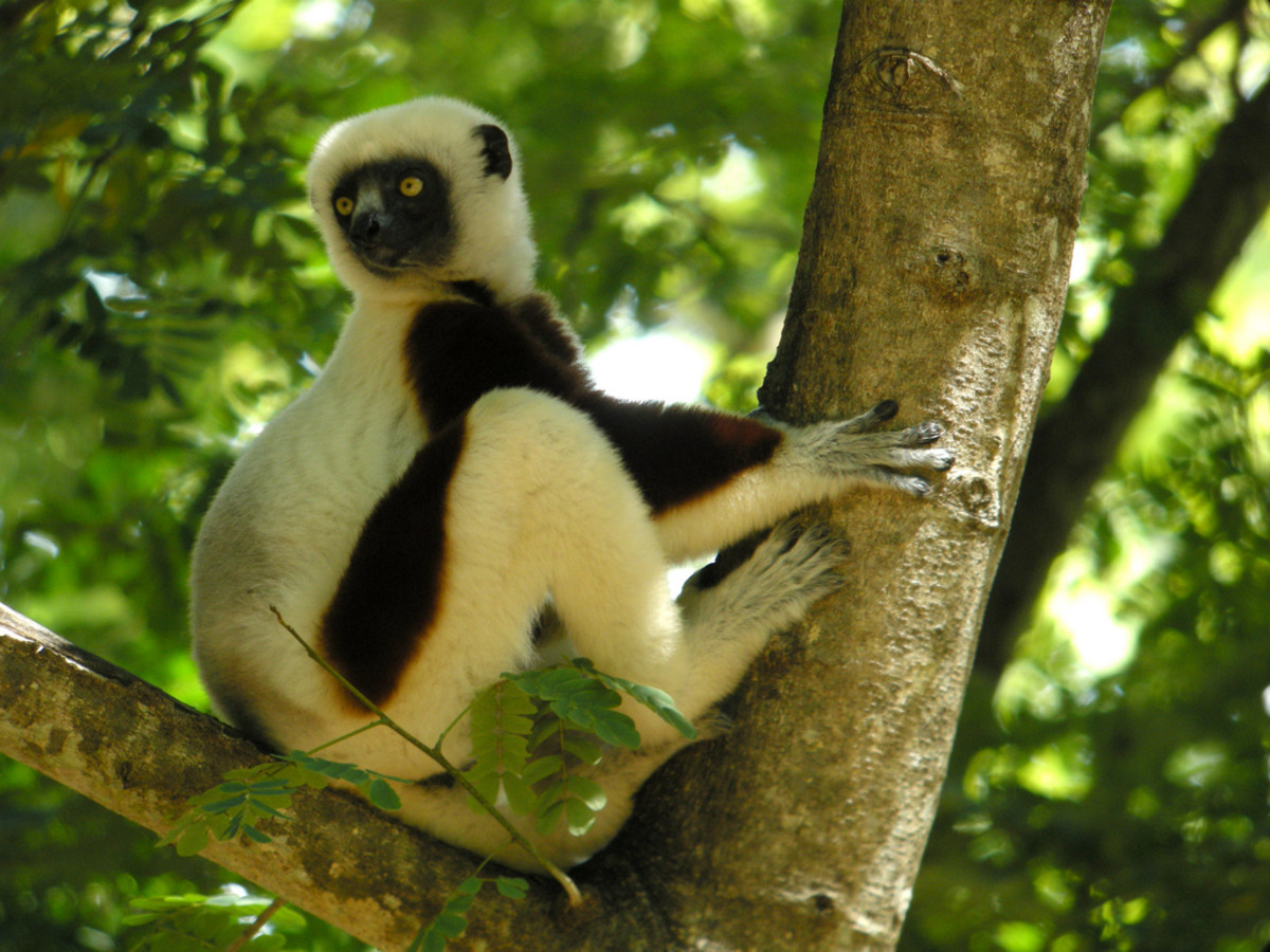 Cocquerel's Sifaka