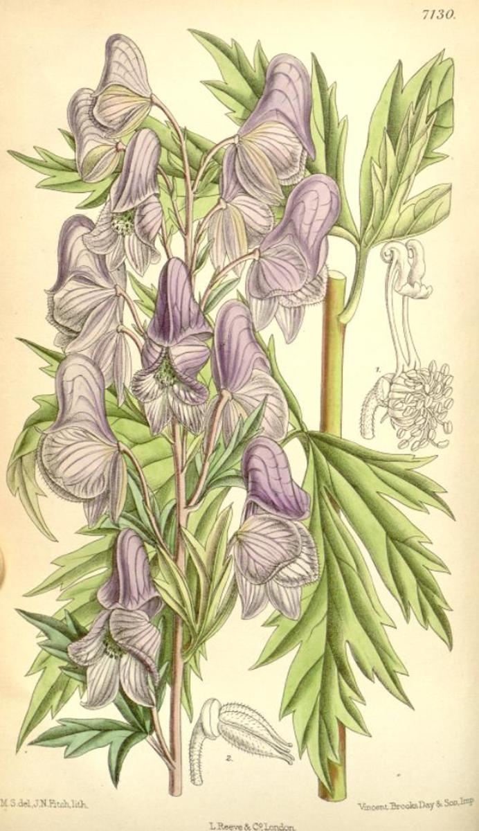 Illustration of monkshood, James Nugent Fitch (1890)