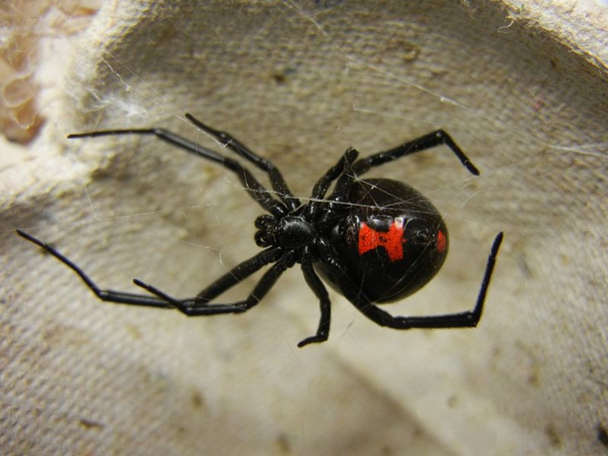 """The female Southern black widow is up to 1.5"""" in length and has a characteristic red hourglass marking on its abdomen.  This species in found in the Southeastern US."""