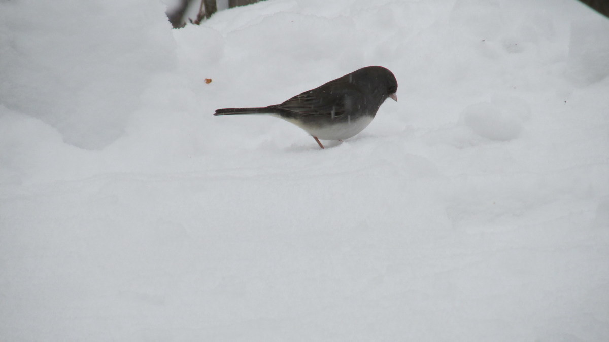 Slate-Colored Junco looking for seeds and/or bugs in the snow.
